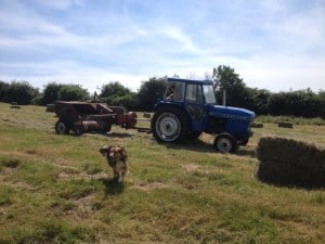 making hay while the sun shines. Perfect for the goats!