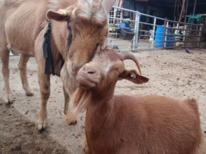 Goats love fuss!